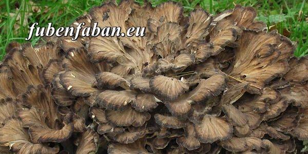 Bokros gomba - Grifola frondosa - rákmegelőző